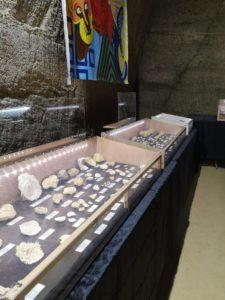 Prolongation de l'exposition de fossiles du falun
